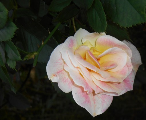 Hybrid tea roses, like this one, generally have fewer than 40 petals per bloom.  Austen's hybrids frequently have more than 80 per bloom, offering rich fragrance.