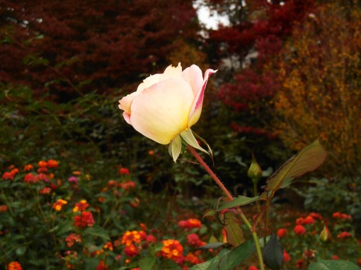 An unknown rose planted by the previous gardeners here.  It is covered with fragrant buds and flowers today.