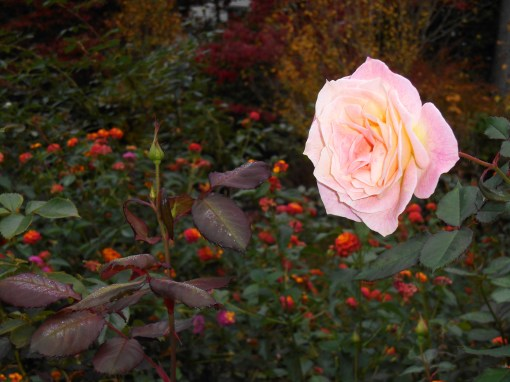Another bud of the same rose in bloom