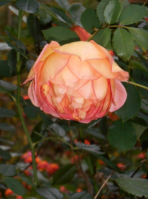 "R. ""Lady of Shalott, blooming in our garden this morning."