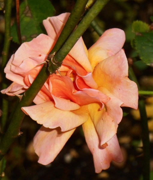 The last flower of the season on this floribunda rose from Jackson and Perkins.