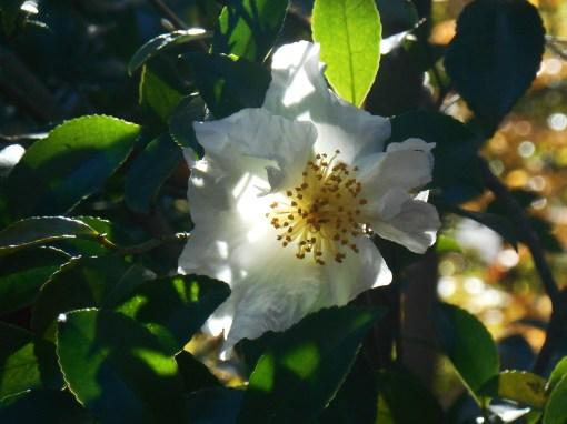 Camellia susanqua