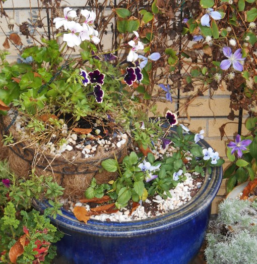Our sheltered patio provides a microclimate which stays warmer during the winter.  Petunias survived all winter here in 2012, and I hope tender plants will survive here this winter, also.