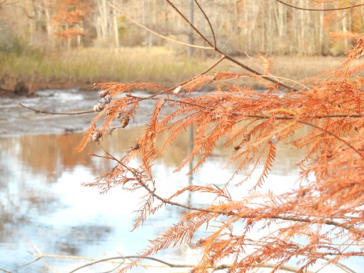 A Bald Cypress limb with cones, ready to drop its needles for winter.