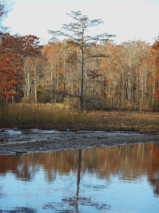This Bald Cypress, in the middle of the creek, is one of the tallest in James City County.