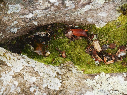 Lush moss grows between the roots of this beech tree. Lichens grows on the roots.
