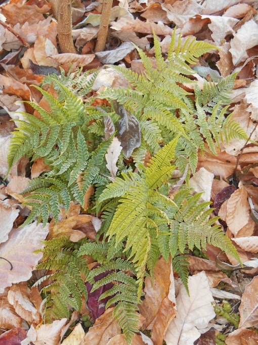 Autumn fern remains green all winter in our garden.