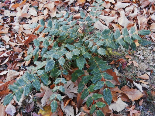 Oregon Grape Holly appreciates winter mulch of shredded leaves.  I also sprinkle spent coffee grounds around the base from time to time.