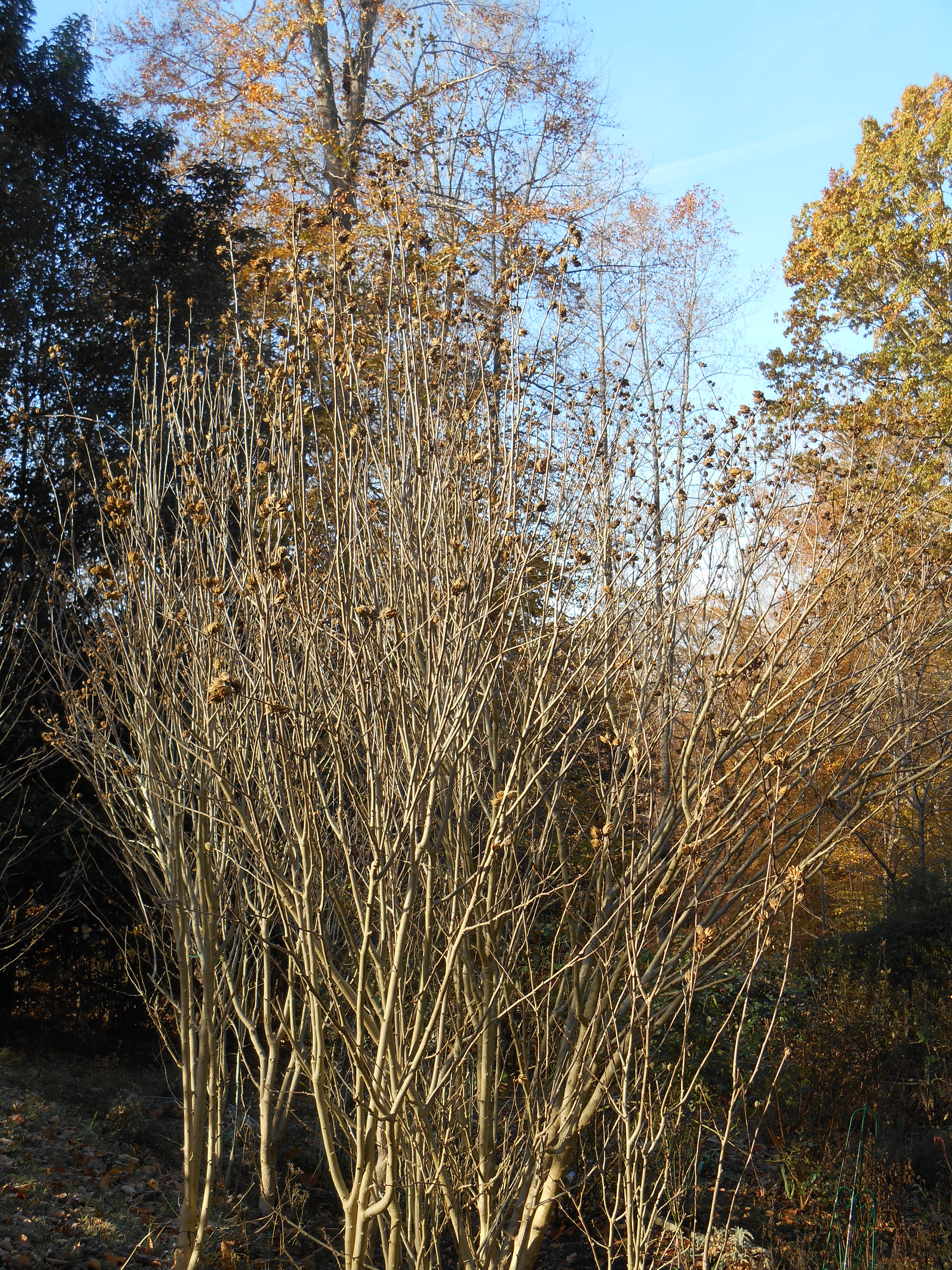 Rose of Sharon shrubs, covered in seeds.  These need thinning and shaping, but wait until spring.