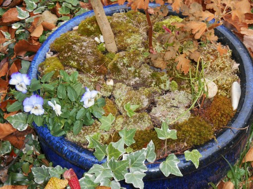 Another pot which I covered in moss today holds a perennial Brugmansia, some herbs, and a Viola.  This pot sits on the front patio.