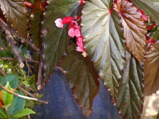 This Begonia has been lifted from its pot by the door and brought inside to the garage for the winter.