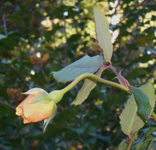 Our November rose in bud on October 19, 2014