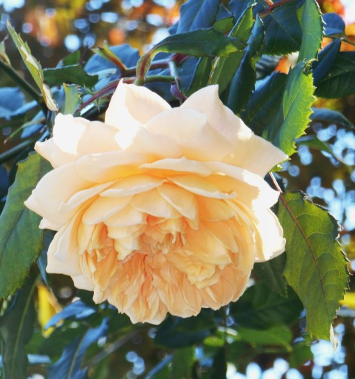 "The same blossom of ""Crown Princess Margareta"" taken on October 25."