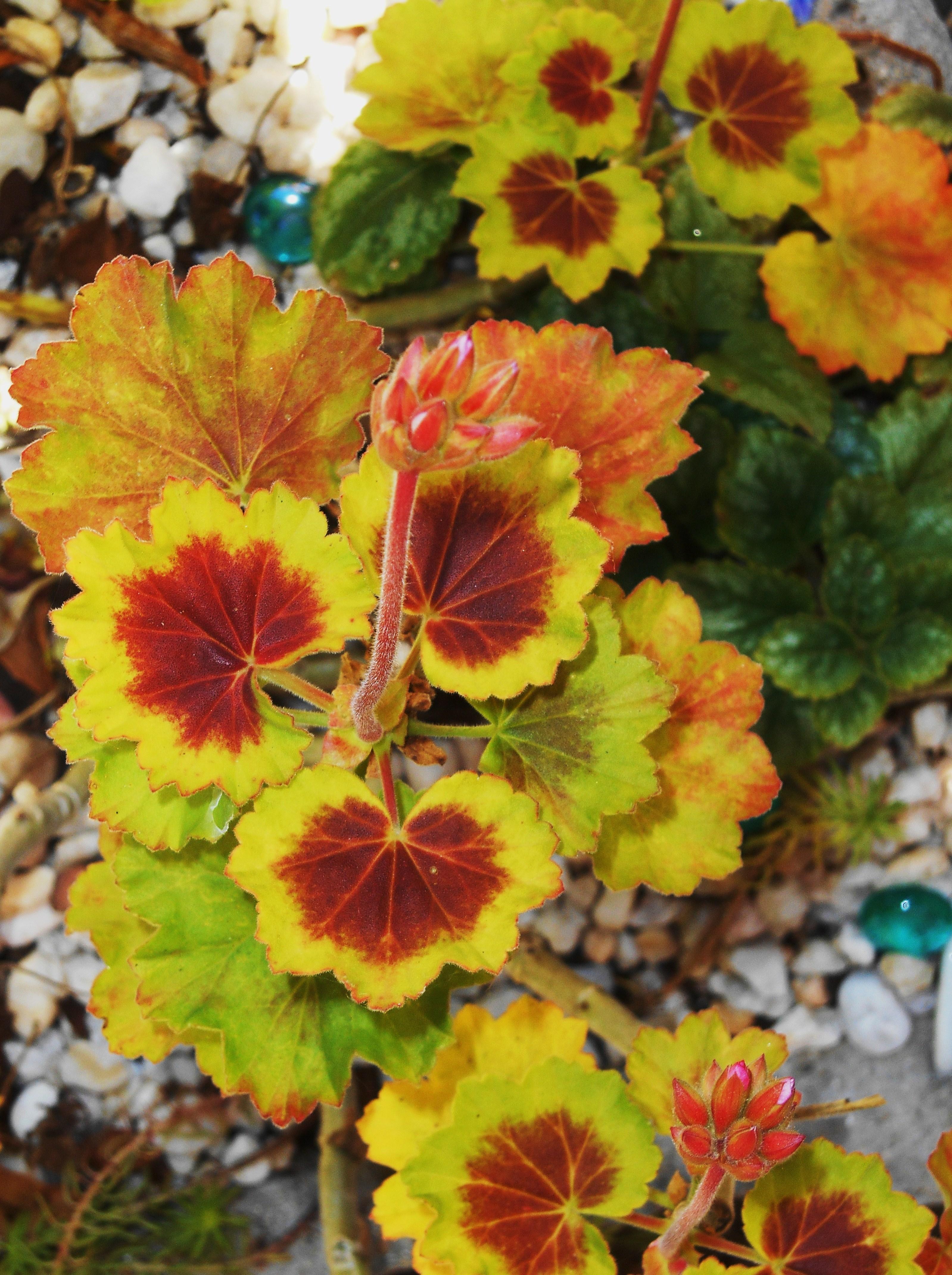 Scented geraniums | Forest Garden
