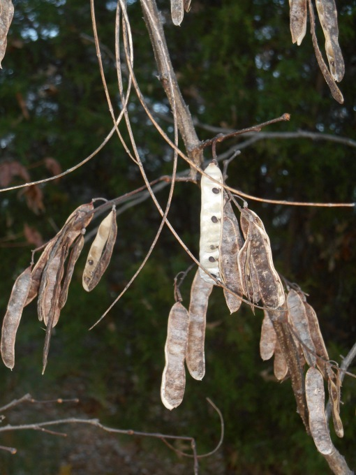 Redbud tree seedpods