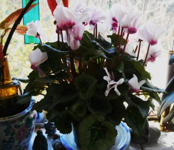 Cyclamen in early December 2014.