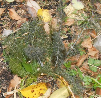 Fennel, re-sprouting in early spring.
