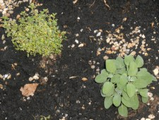 Thyme with sage, just after planting