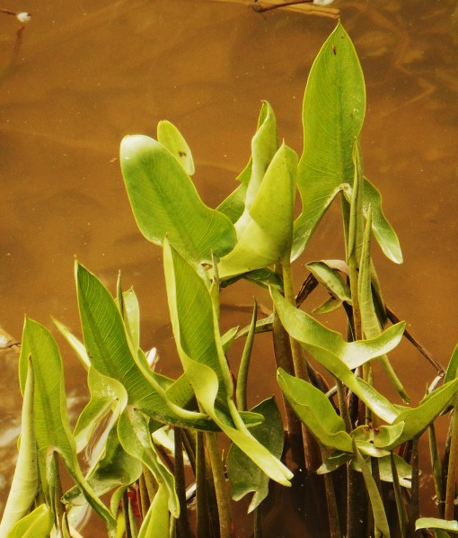 The tubers of Arrowheads, Sagittaria species, are very nutritious and will grow in a foot of water.