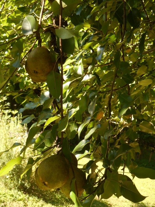 Our pear crop, August 2014