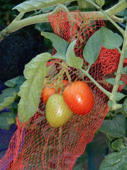 Beautiful tomatoes were grown in a friend's garden last. summer