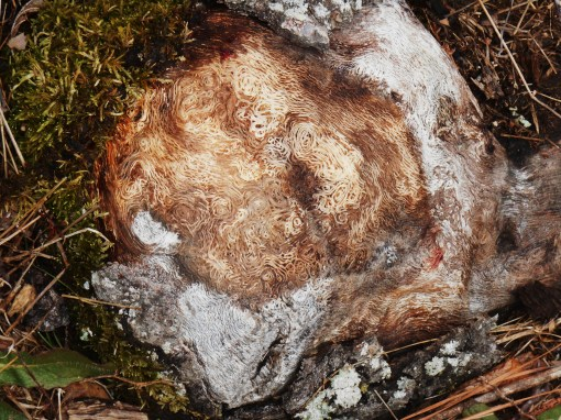 """The exposed """"knuckle"""" of some very old roots"""