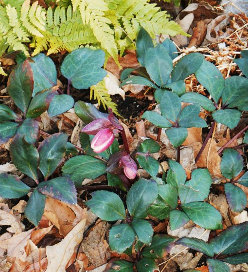 The first Hellebore blooming this season
