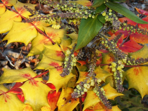 Mahonia in January. The leaves sometimes change color in response to cold weather, but the yellow flowers still welcome pollinators.