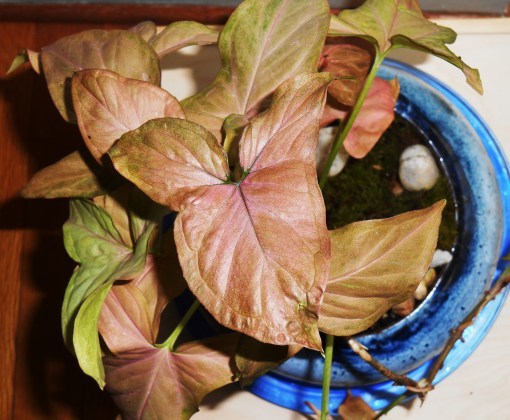 Arrowhead vine, Syngonium podophyllum, can eventually grow to about 6'.  Commonly kept as a houseplant, it is native to Mexico and Central America.