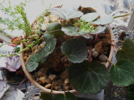 The 'mother' strawberry begonias who have provided tiny baby plants for my terrarium projects.