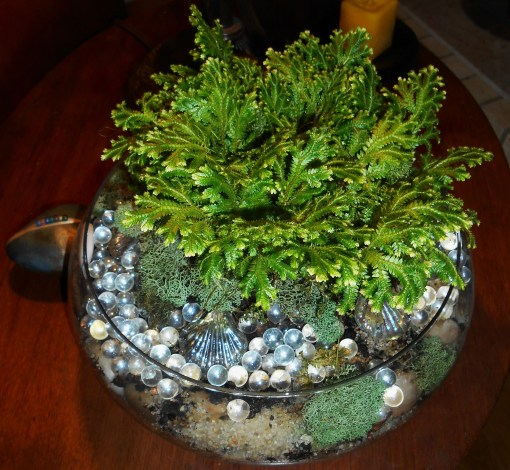 This Selaginella kraussiana variegatus came from Trader Joes in December.  Known as 'frosty fern,' it is a tender spike moss and must winter indoors here.