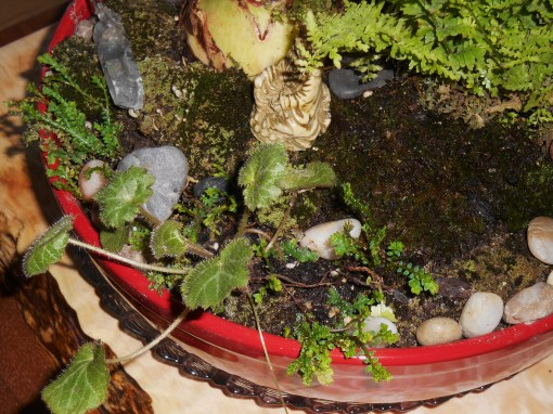 Peacock spikemoss, Selaginella uncinata, has grown enough to begin cascading over the side of the dish.  The strawberry begonia, Saxifraga stolonifera, has sent out a runner.  A tiny new plant will develop at the end of the runner one day soon.