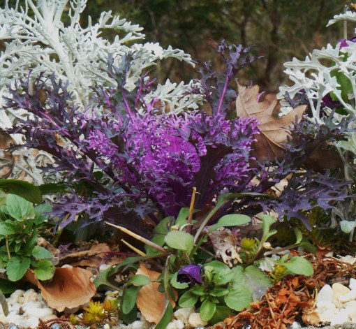 Ornamental Kale with Violas and dusty miller