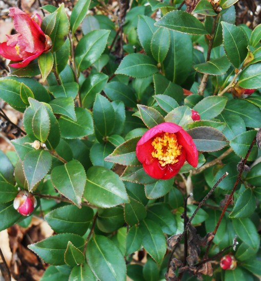 """Camellia, """"Jingle Bells"""" begins blooming in mid-December each year, just in time to bloom for Christmas."""