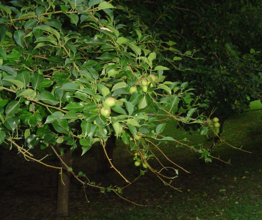 Pears grow from spring's flowers. Deer grazed these branches last summer.
