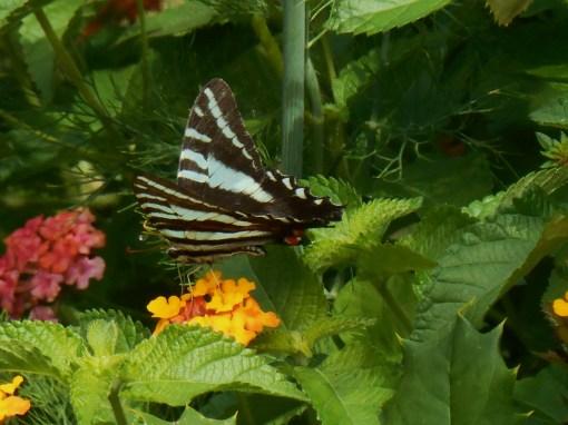 June 30, 2014 butterfly 009