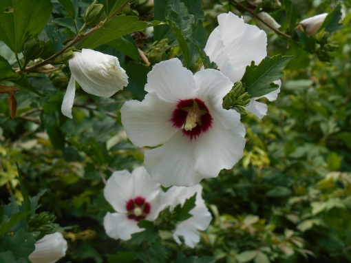 Rose of SHaron in its first blush of blooms last summer.