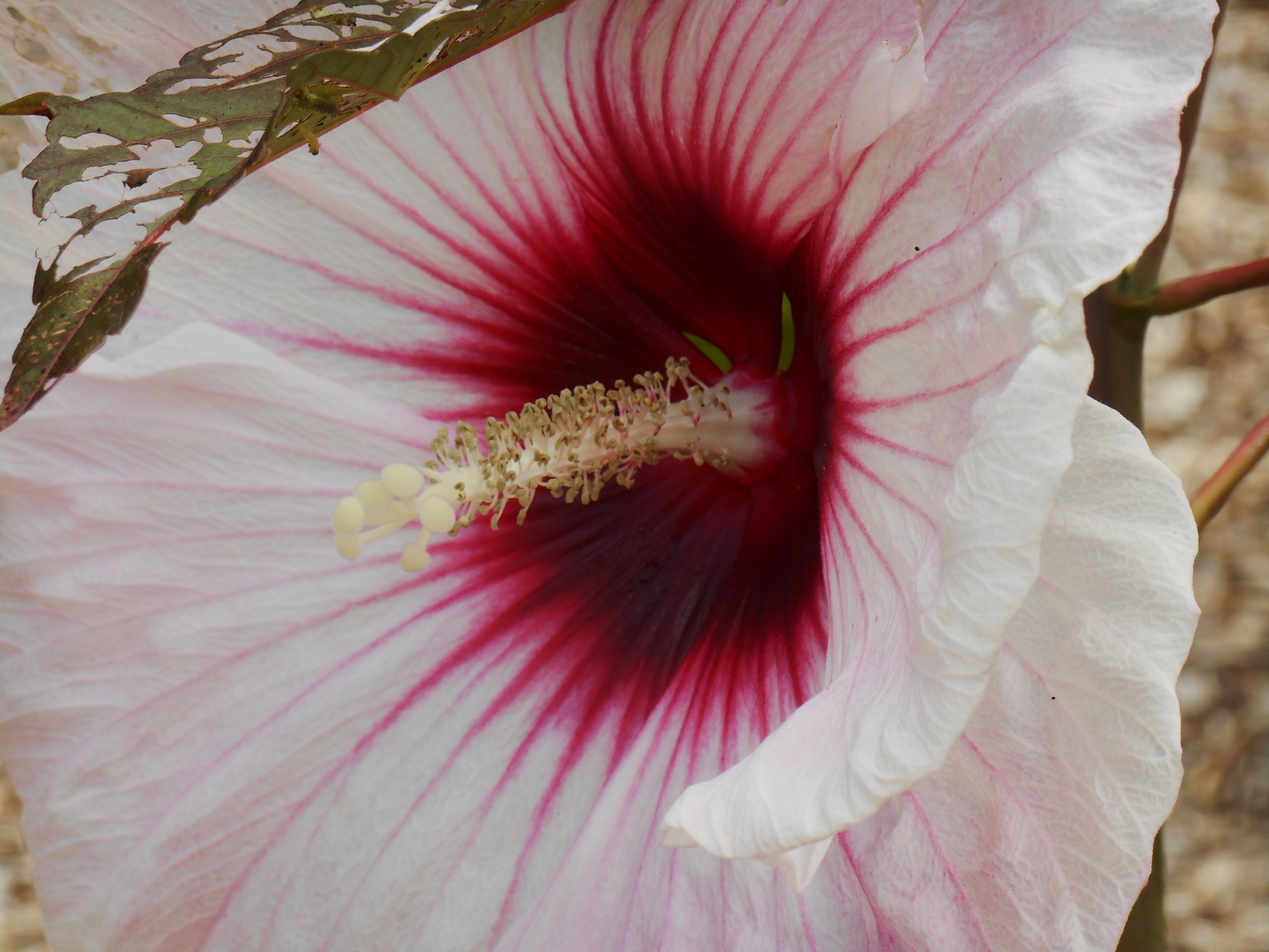 Hibiscus kopper king forest garden hibiscus dhlflorist Image collections