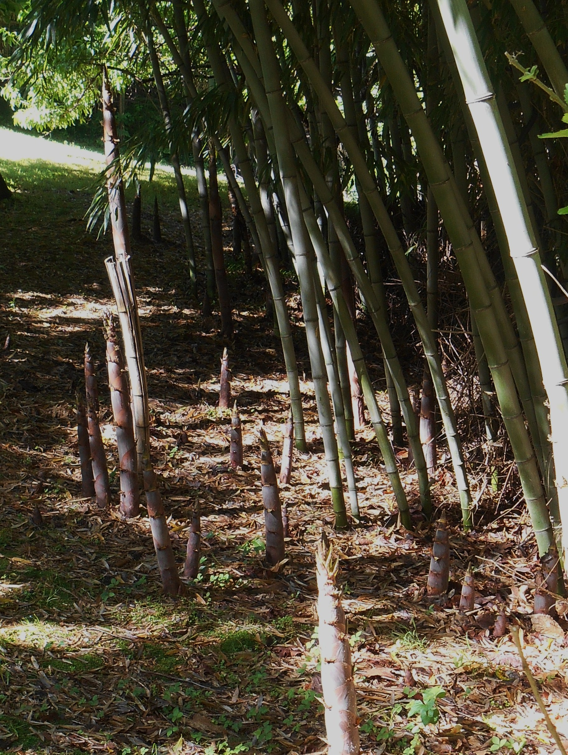 """Harvest bamboo shoots in spring when they are less than 12"""" for the most tender vegetable."""