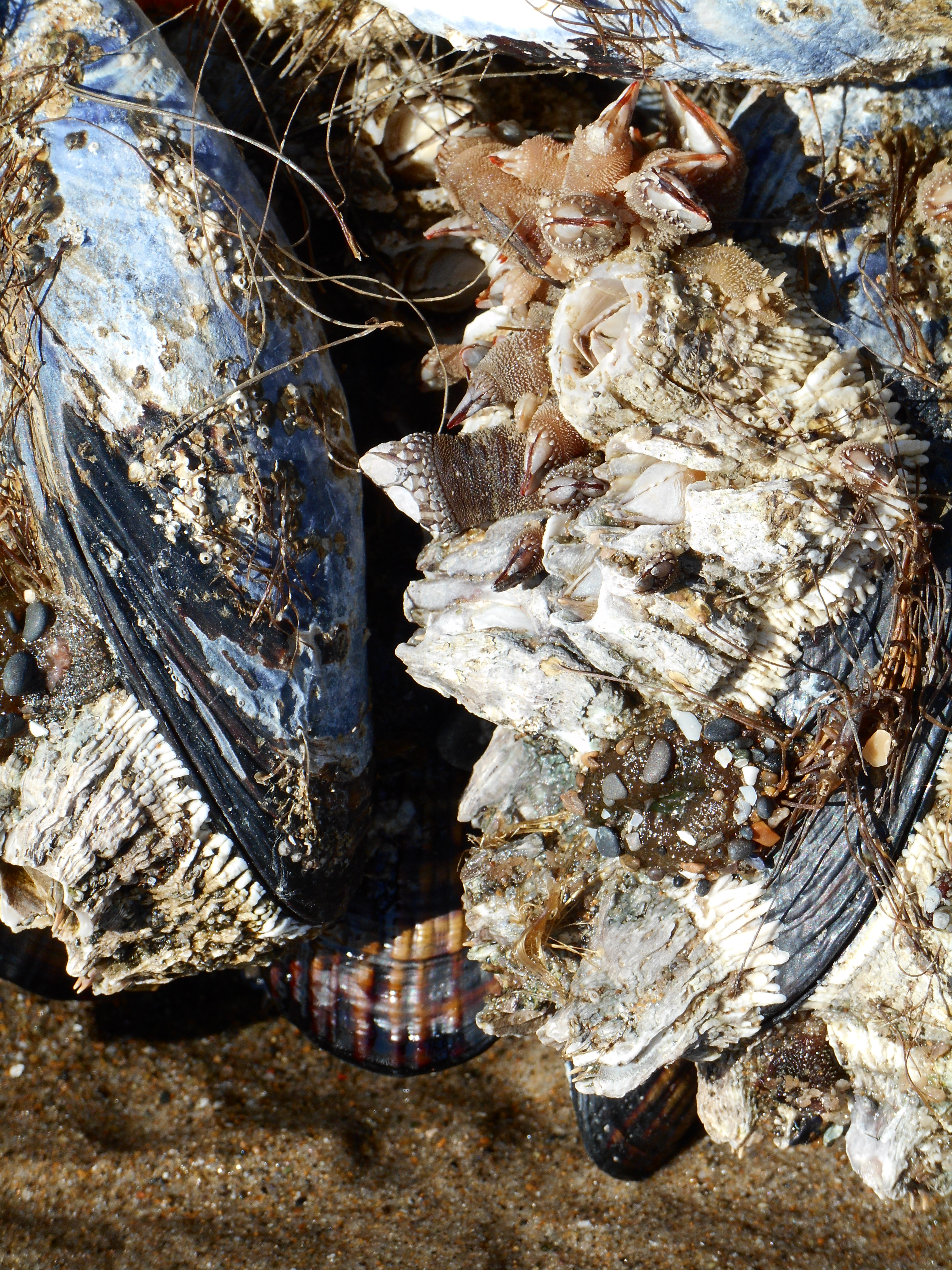 mussel shells and barnacles on the oregon beach 2014
