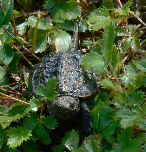One of our tiny turtles who hatched in the garden last August.