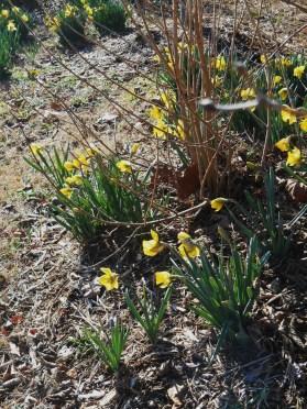 February 11, 2015 daffodils 007