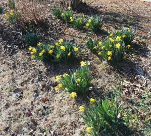 February 11, 2015 daffodils 009