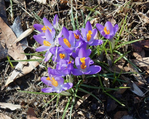 "Crocus in bloom, with their ""saffron"" stamens covered in golden pollen.  This photo from February 16, 2014"
