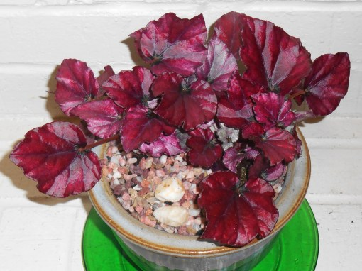 February 26, 2015 Begonia and Ferns 010