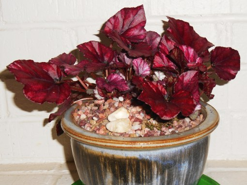 Another Begonia Rex, also from Lowes this winter, settles into its new pot.