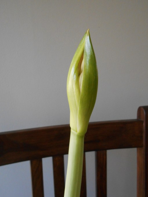 Our Amaryllis is coming along nicely.