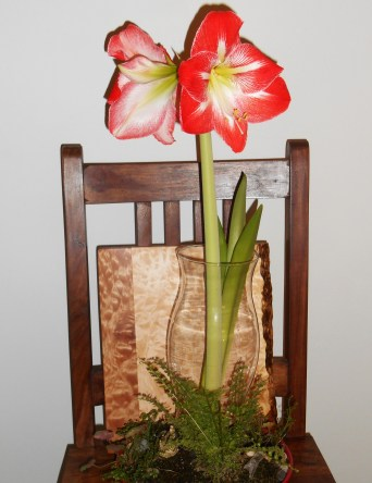 The Amaryllis, began to open on Sunday, and had two buds open and two still waiting last Monday morning.