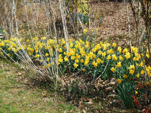 Our front border last March 22.  We had a cold, late spring last year.  I wonder when we'll see these appear again?