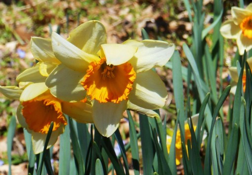 Daffodils blooming at the end of March 2014